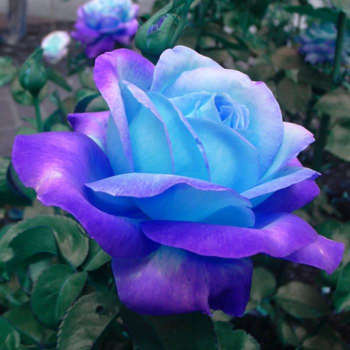 https://bernice.bandcamp.com/track/lo-how-a-rose-eer-blooming